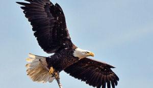 Eagle Flying in Headwaters Park habitat
