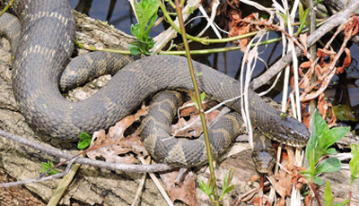 Snake in the Rookery Habitat