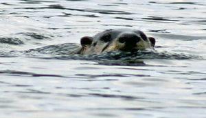 Beaver in Water at Bass Lake